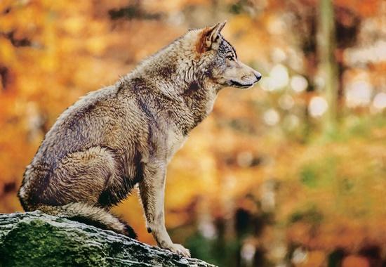 Sitzender Wolf im Wald
