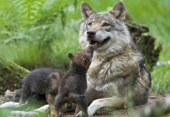 Wolfsmutter mit ihren Jungen