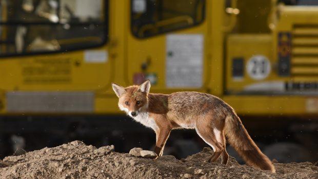 Füchse gehören zu den Wildtieren, die Tierfotograf Sven Meurs in Großstädten fotografiert.