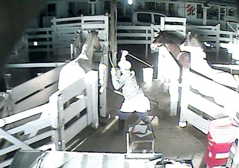 Diese heimlich gefilmten Aufnahmen zeigen, auf welch grausame Art und Weise trächtige Pferde auf den Blutfarmen in Südamerika traktiert werden. Sie werden mit Knüppeln geschlagen, mit Gewalt in enge Boxen getrieben und misshandelt.