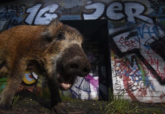 Dieses Wildschwein hat Sven Meurs in Berlin mit seiner Kamera eingefangen.