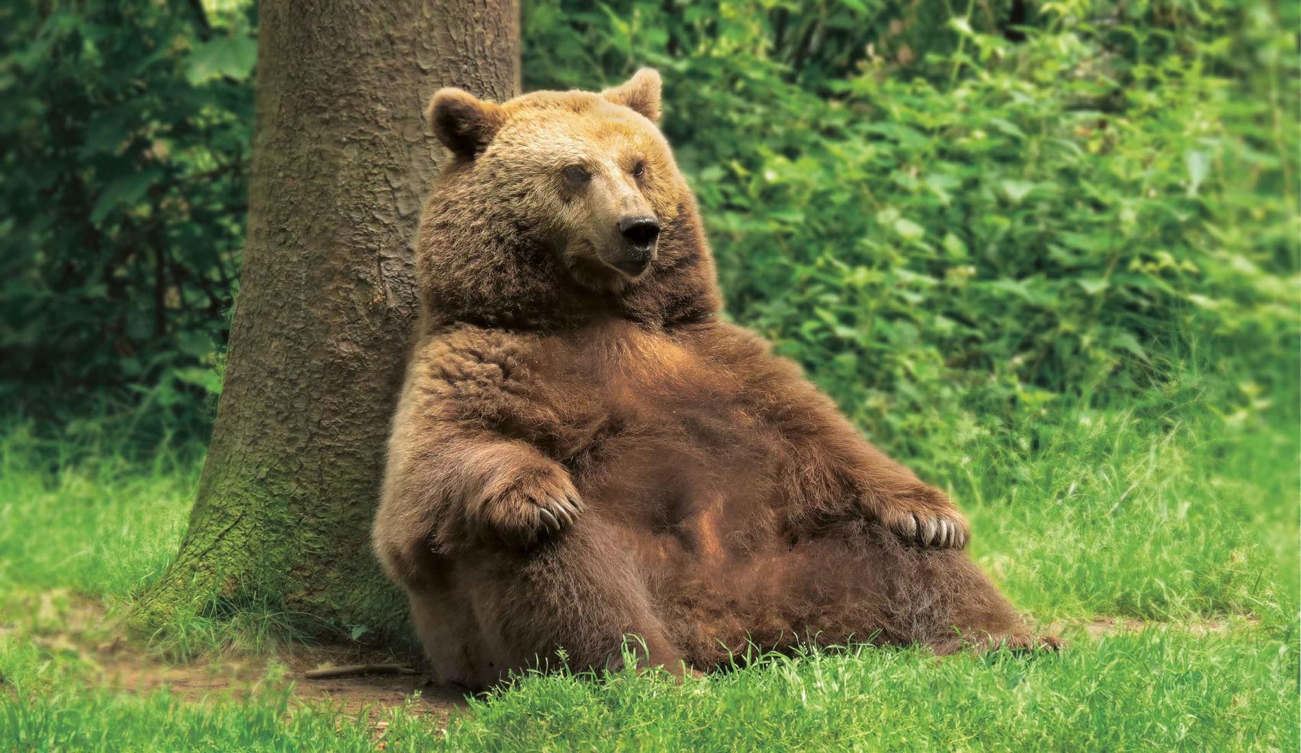 Sitzender Bär