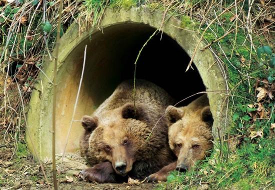 Rückzugsorte sind für die Bären essenziell.