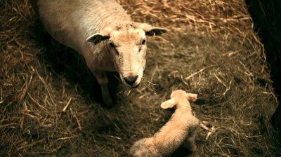Schaf und Lamm im Stall