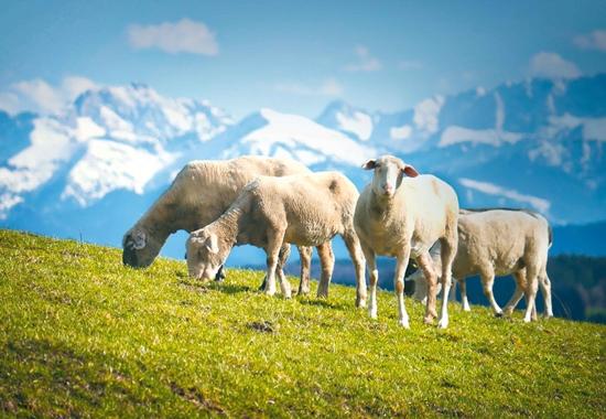 Unter anderem verdichten Schafe mit ihrem Tritt den Boden. Das senkt in den Bergen das Lawinenrisiko.