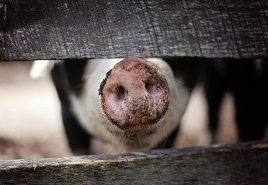 Dass männliche Ferkel überhaupt kastriert werden, liegt am sogenannten Ebergeruch – ein für manche Menschen unangenehmer Geruch und Geschmack, den das Fleisch von etwa drei bis vier Prozent der unkastrierten Tiere haben kann.