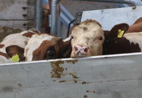 Rinder werden im Hafen verladen