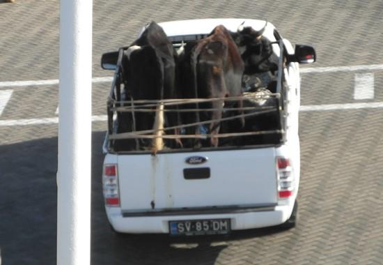 Tiertransport auf einem Pickup