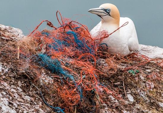 Seevögel wie etwa Basstölpel verwenden oft Fischernetzreste aus Plastik als Nistmaterial.