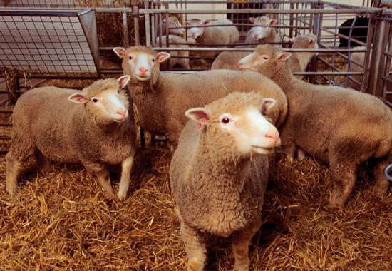 Dolly erlangte 1996 als erstes geklontes Säugetier Berühmtheit. Das Schaf überlebte als einziges von 277 Klonversuchen, wurde aber nach sechs Jahren eingeschläfert.