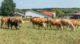 """Kühe auf der Weide in einem Betrieb zertifiziert nach dem Tierschutzlabel """"Für Mehr Tierschutz"""" des Deutschen Tierschutzbundes"""