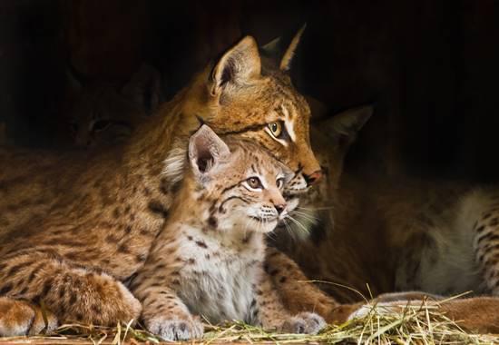 Zwei Junge bringt der Luchs in der Regel zur Welt. Diese bleiben etwa zehn Monate bei ihrer Mutter.