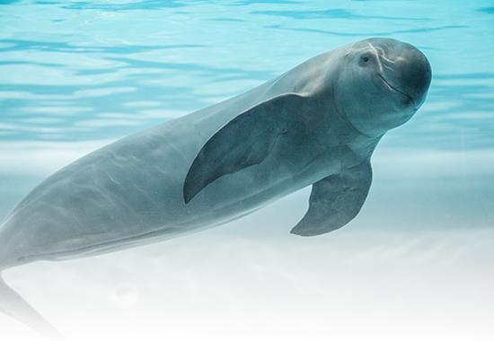 Glattschweinswal betroffen vom Artensterben