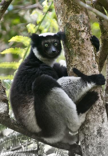 Indri betroffen vom Artensterben