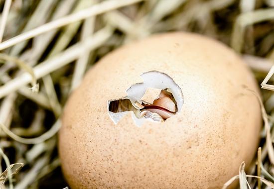 In konventionellen Betrieben werden männliche Küken nach dem Schlüpfen getötet.