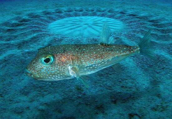 Der Japanische Kugelfisch formt solche exakt gestalteten Kunstwerke mit seinem Bauch und Fächerbewegungen seiner Flossen, um damit paarungswillige Weibchen anzulocken.
