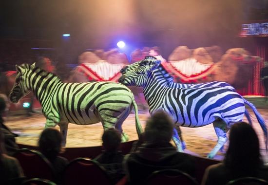 Während Zebras in der freien Natur kilometerweit durch Steppen ziehen, drehen sie in der Manege nur Kreise.