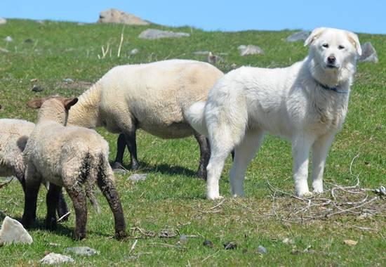 Herdenschutzhund mit Schafen auf der Weide.