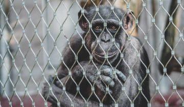Schimpanse hinter Gittern