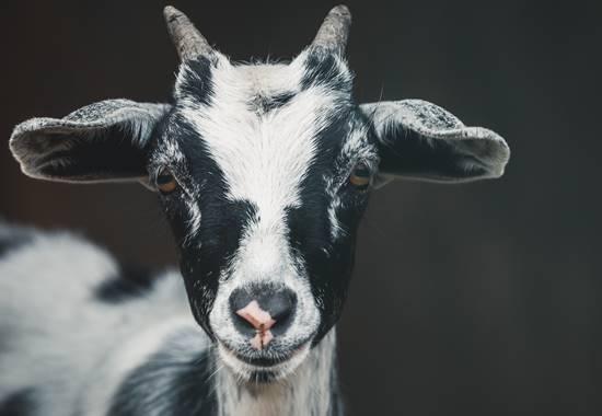 Ziegen sind neugierig. Da sie auch nässeempfindlich sind, ist die Haltung ganz ohne Stall hierzulande nicht möglich.