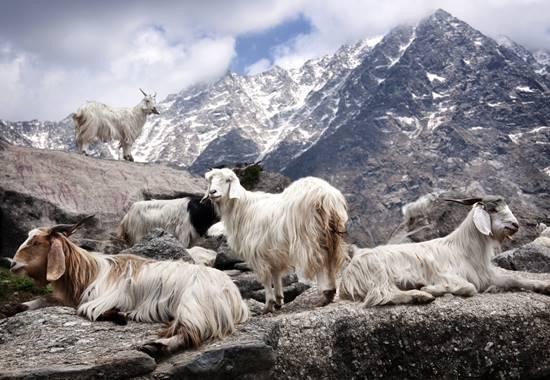 Kaschmirziegen im Himalaja