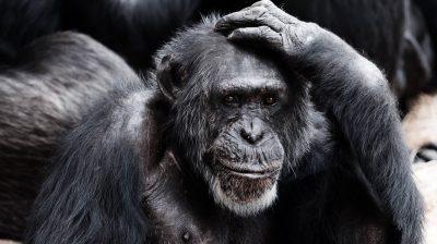 Schimpanse fasst sich an den Kopf