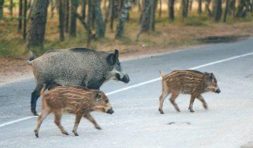 Wildschweine überqueren Strasse