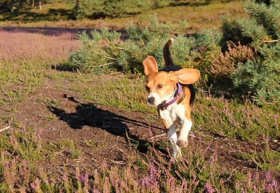 Amy, die Beagle-Hündin, tollt durch die private Heide.